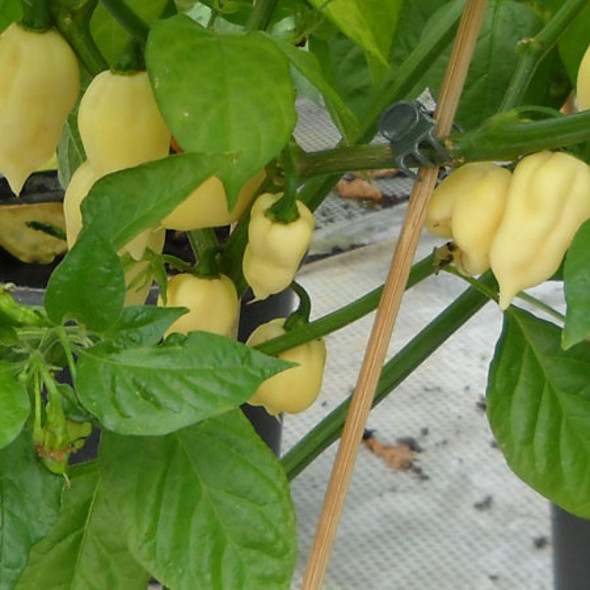 Fatalii White Chilli Image, Chillies on the Web