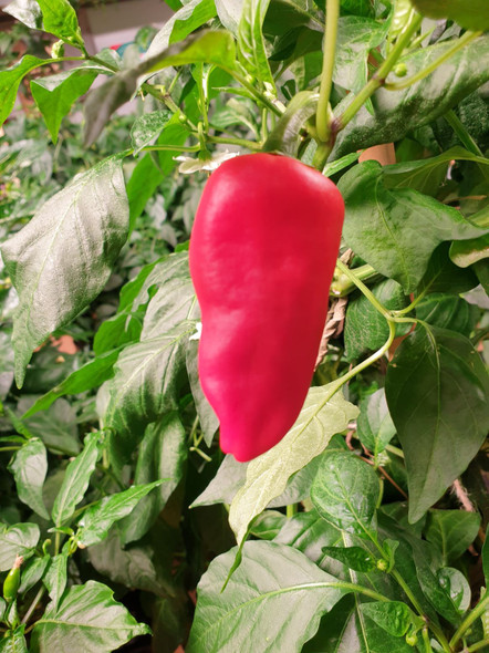 Padron Chilli Plant Image by CHILLIESontheWEB