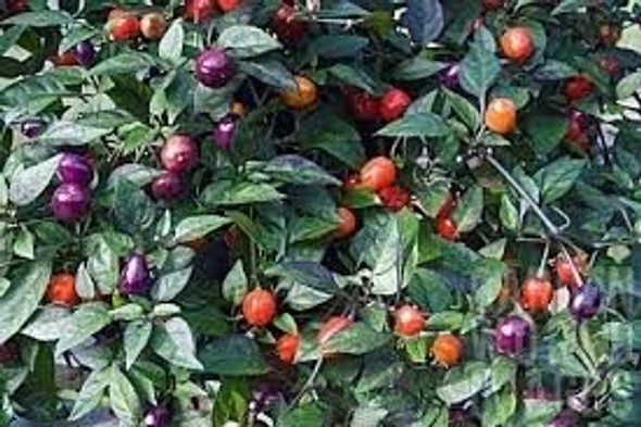 Filius Blue Chilli Seeds Image by Chillies on the Web