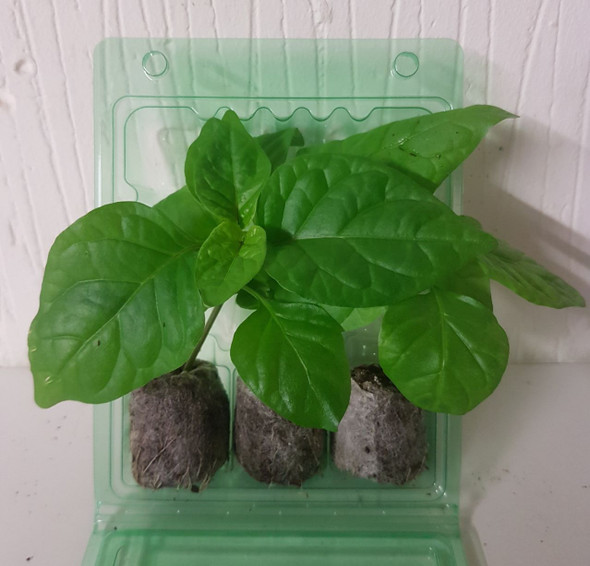 3 Pack of Carolina Reaper Red Chilli Seedling Plants x  1