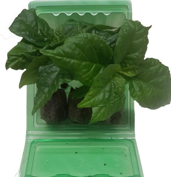 3 Pack of Superhot Chilli Seedling Plants x  1