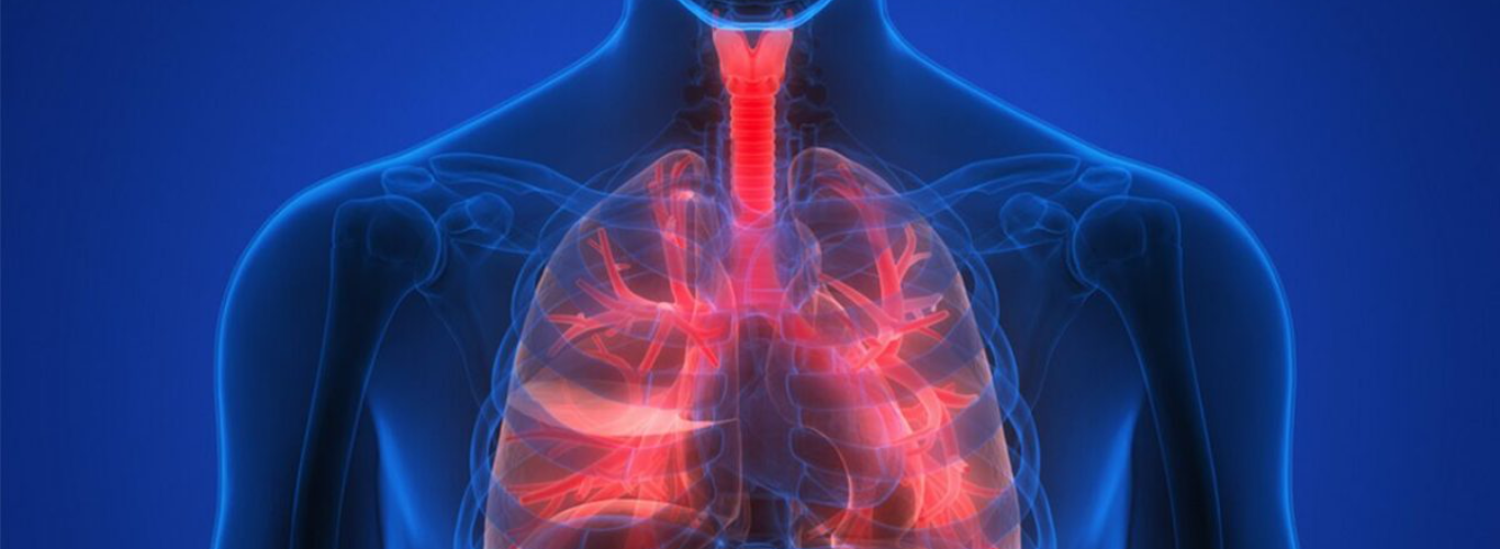 Transparent human torso highlighting the internal respiratory system