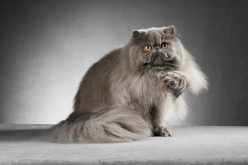 Groom like a Pro - Top Tips for grooming Persians