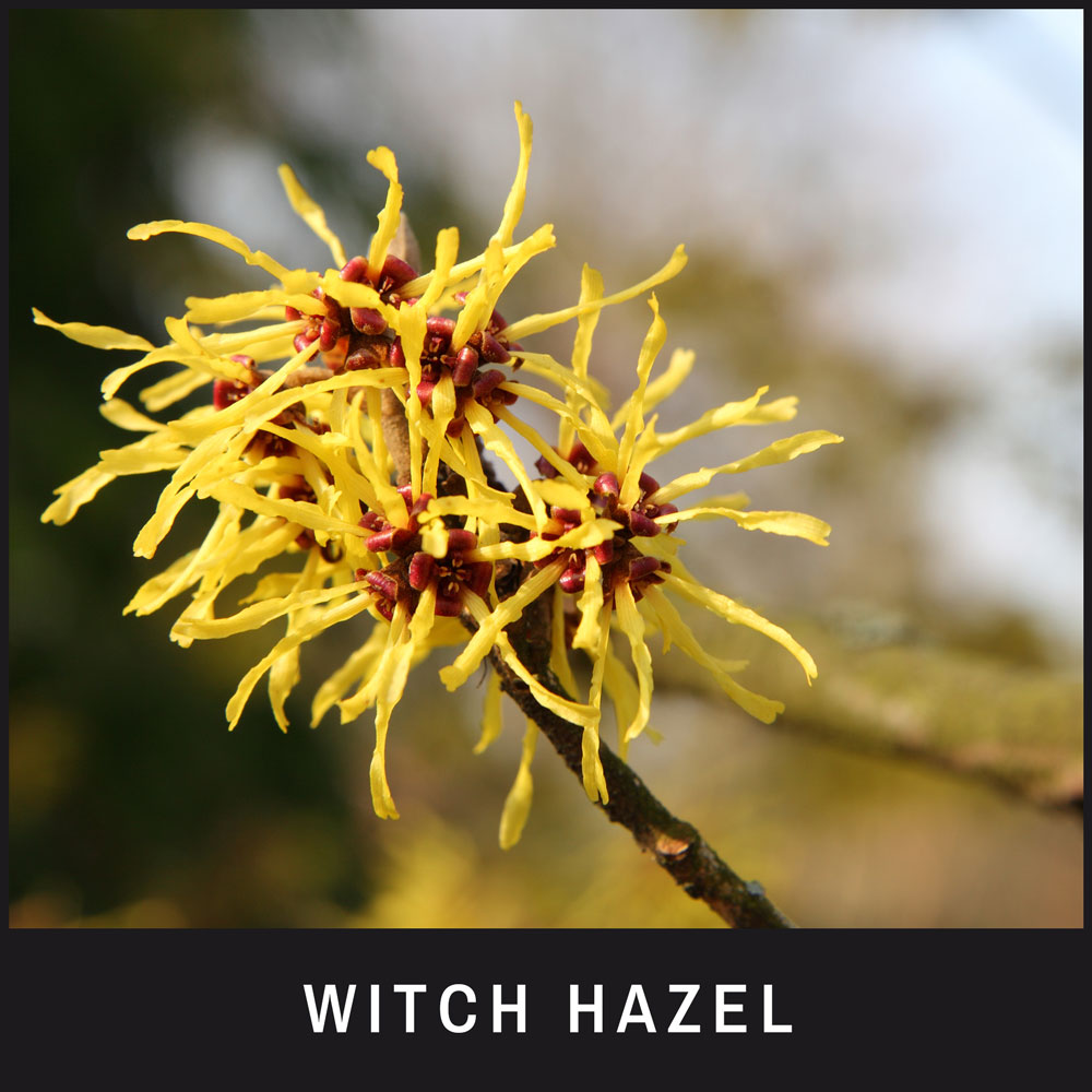 Witch Hazel repels insects, preventing bites