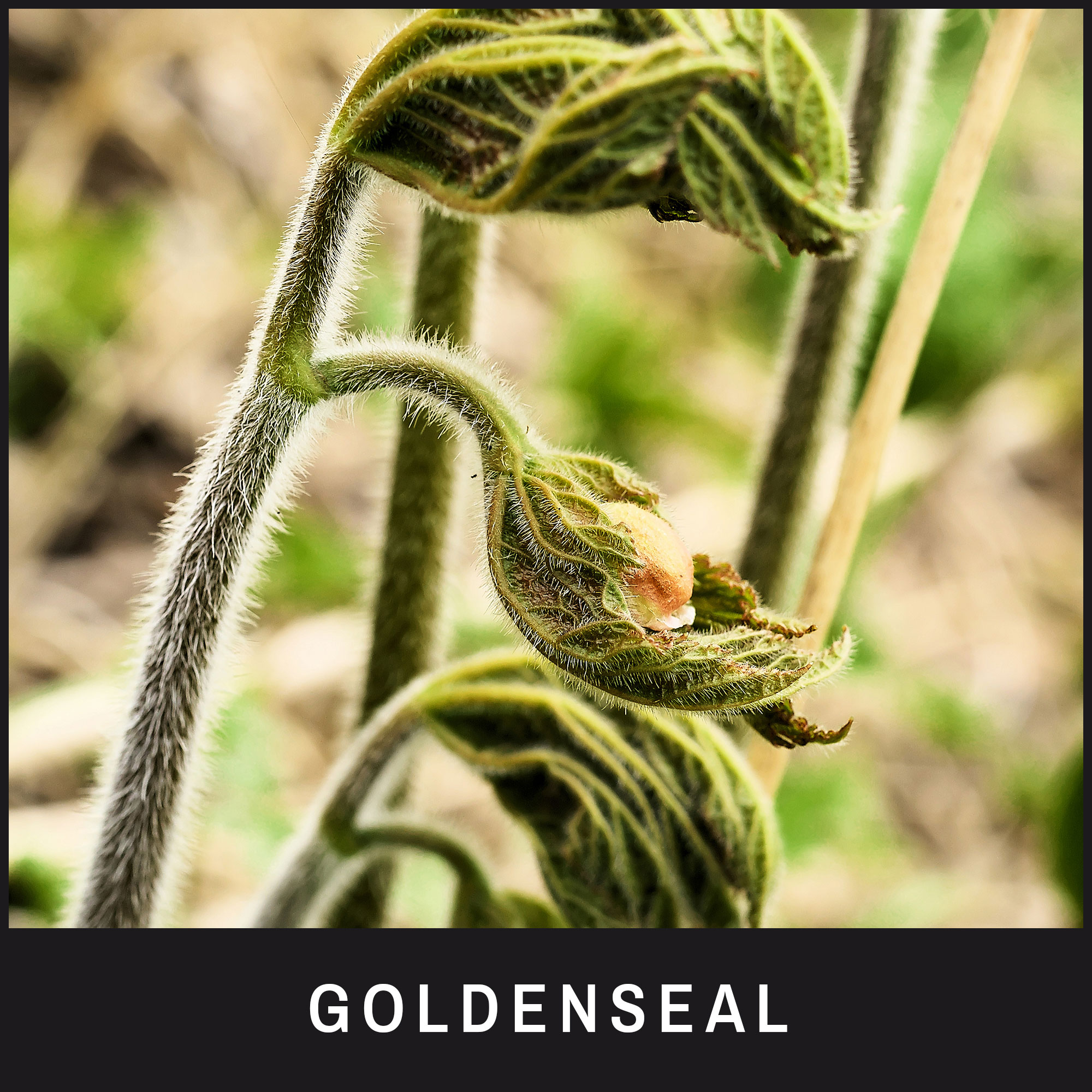 Goldenseal – also known as 'eye balm'
