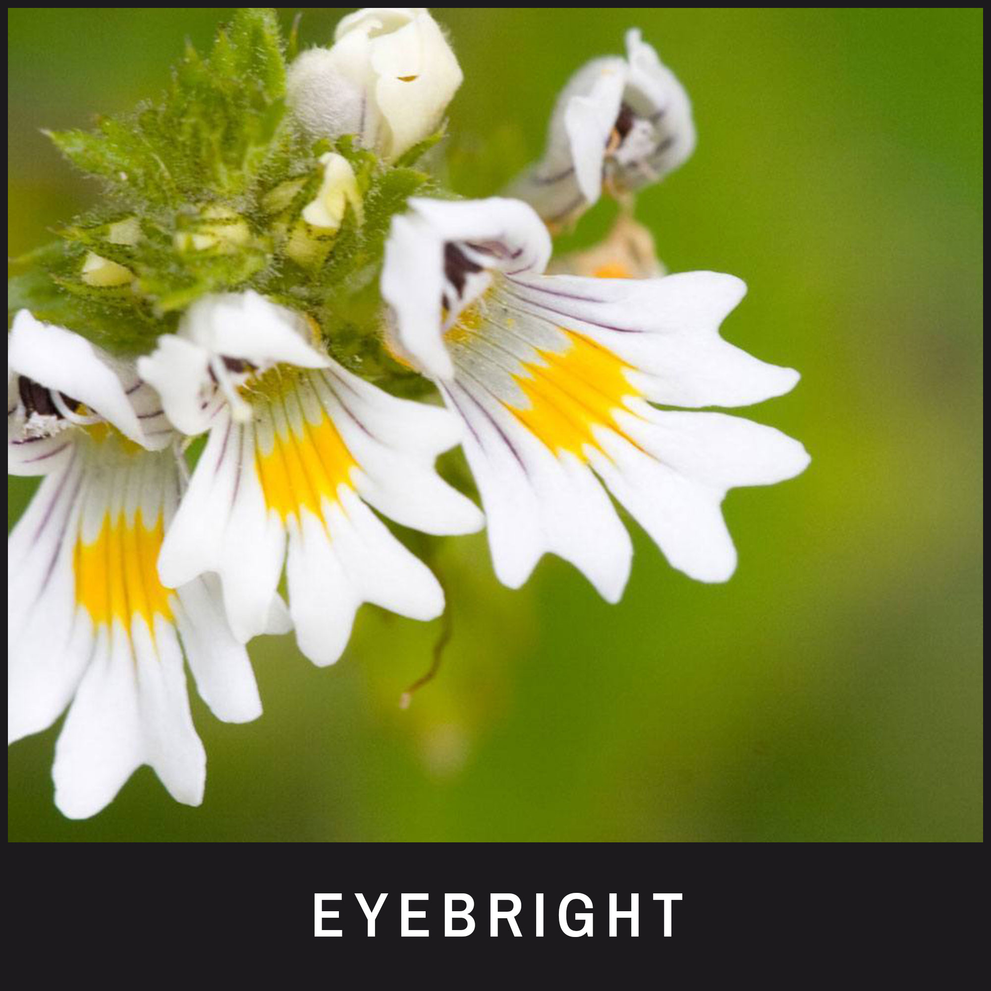 Eyebright treats infected, inflamed and irritated eyes