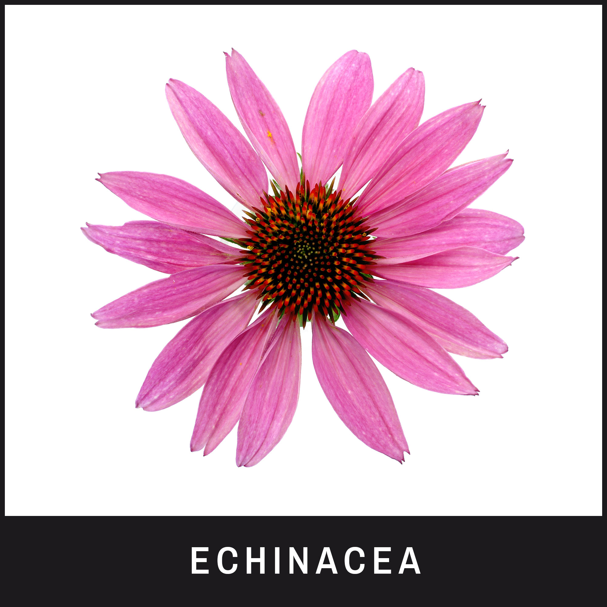 Echinacea helps clean up bacteria infections