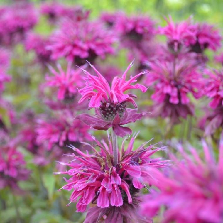 Buy Monarda fistulosa 'Loddon Crown' Bergamot Loddon Crown | Herb Plant for Sale in 1 Litre Pot