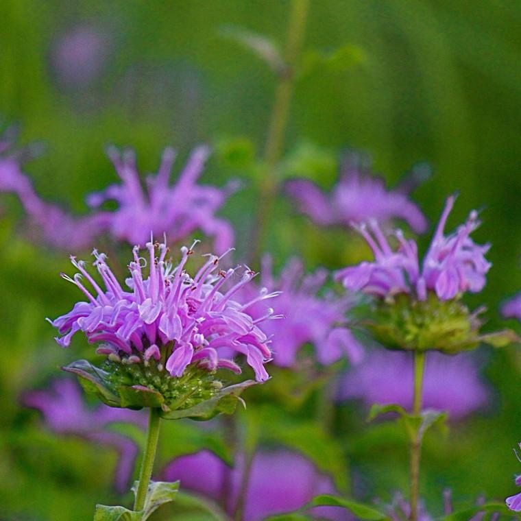 Buy Monarda fistulosa 'Bergamot Wild'   Herb Plant for Sale in 1 Litre Pot