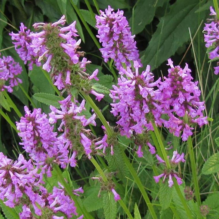 Buy Stachys Officinalis 'Betony' | Buy Herb Plant Online in 1 Litre Pot