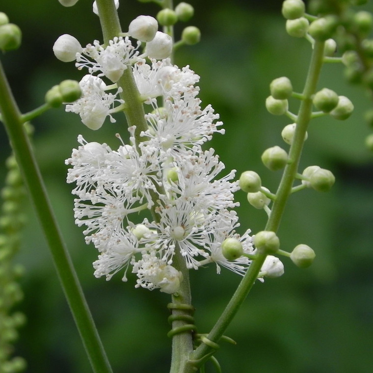 Buy Actaea racemosa 'Black Cohosh' | Buy Herb Plant Online in 1 Litre Pot