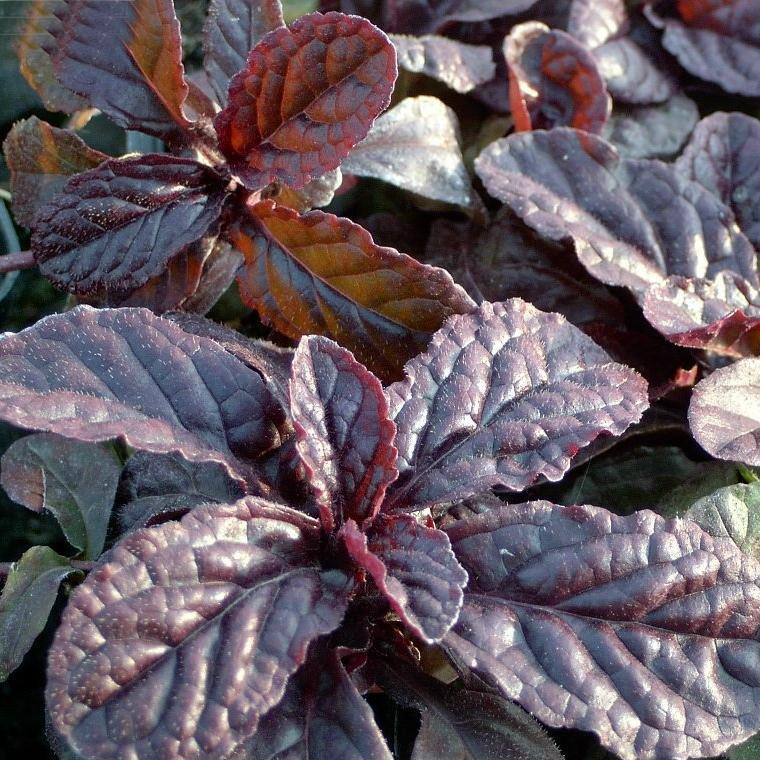 Buy Ajuga reptans, Bronze Bugle   Potted Herb Plant   Hooksgreen Herbs