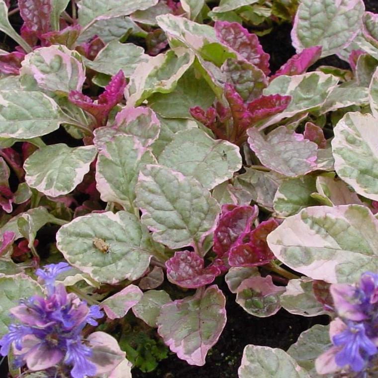 Buy Ajuga reptans 'Burgundy Glow', Bronze Bugle, Burgundy Glow | Herb Plant for Sale in 9cm Pot