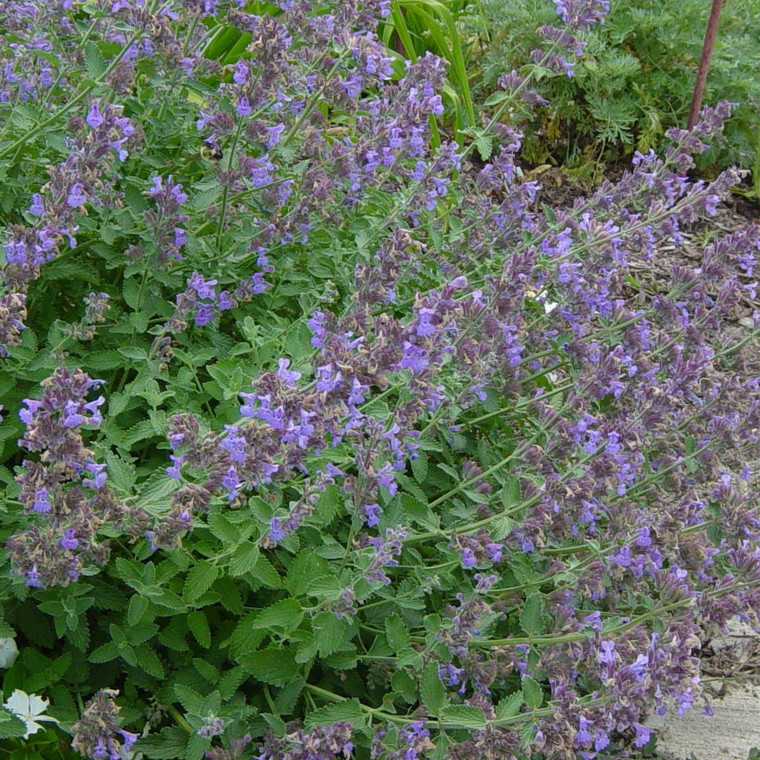 Buy Nepeta racemosa Catmint | Potted Herb Plant | Hooksgreen Herbs