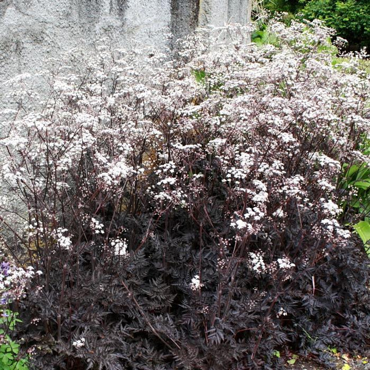 Buy Anthriscus sylvestris 'Ravenswing' purple-leaved wild Chervil | Herb Plant for Sale in 1 Litre Pot