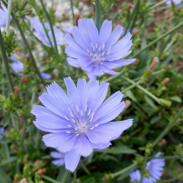 Buy Cichorium intybus 'Chicory Blue'   Potted Herb Plant   Hooksgreen Herbs