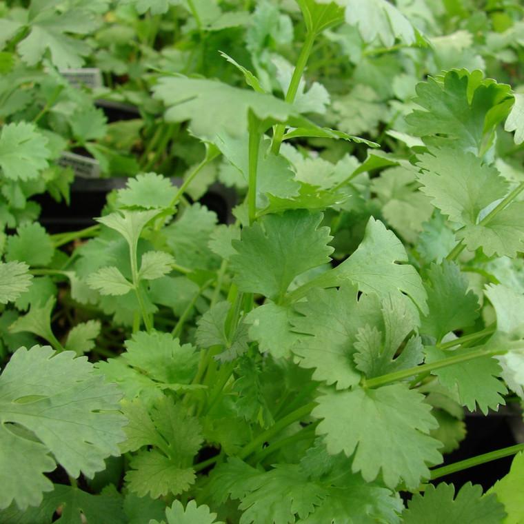 Buy  Coriander (Coriandrum sativum 'Cilantro')   Buy Herb Plants Online