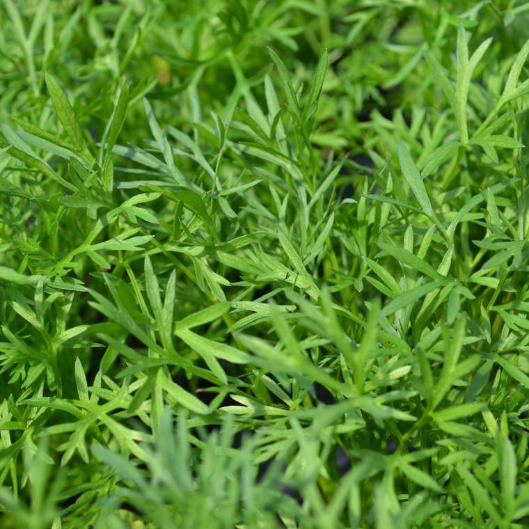Buy Coriandrum sativum RHS AGM 'Confetti' Coriander Confetti | Herb Plant for Sale in 9cm Pot