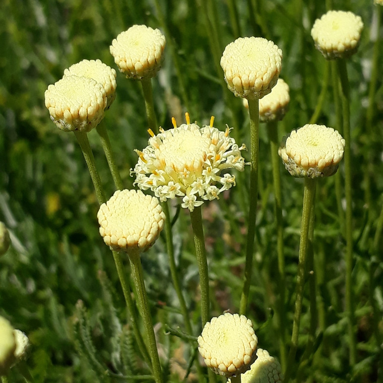 Buy Santolina pinnata subsp. neopolitana Cotton Lavender 'Edward Bowles'   Herb Plant for Sale in 1 Litre Pot