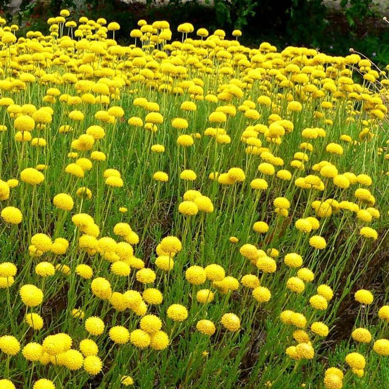 Buy Santolina Cotton Lavender Virens   Buy Herb Plant Online in 1 Litre Pot