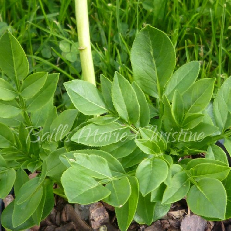 Dictamnus albus 'alba' | Gas Plant | White Flower | Herb Plants online