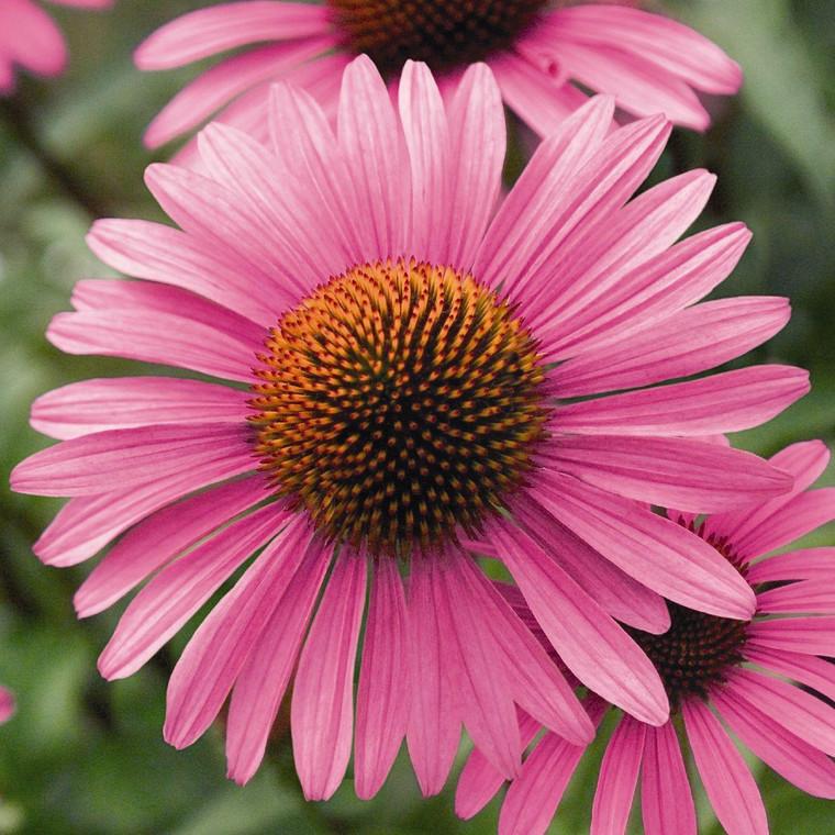 Buy Echinacea angustifolia | Herb Seeds for Sale