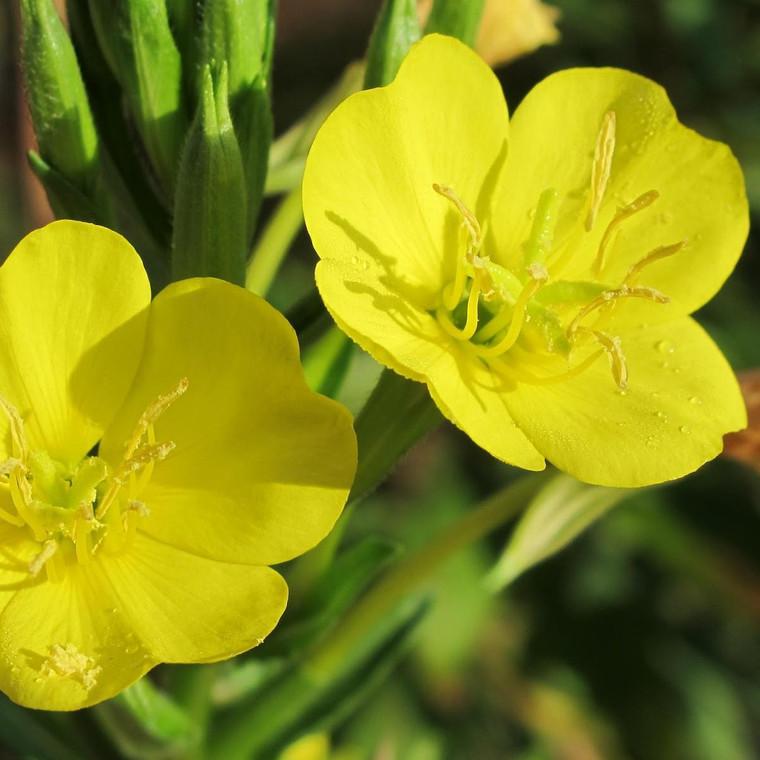 Buy Oenothera biennis 'Evening Primrose' | Potted Herb Plant | Hooksgreen Herbs