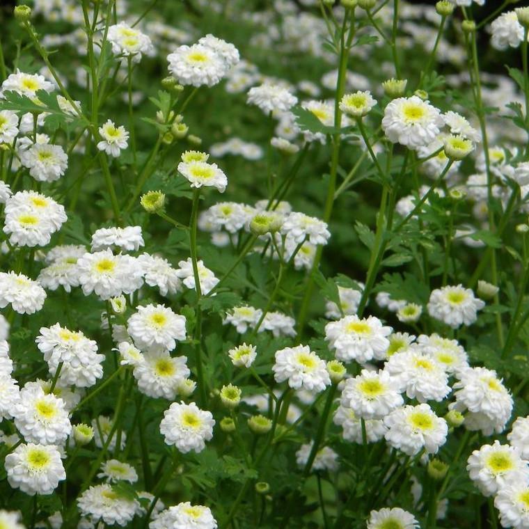 Buy Tanacetum parthenium 'Flore Pleno' Feverfew Double-flowering | Herb Plant for Sale in 9cm Pot