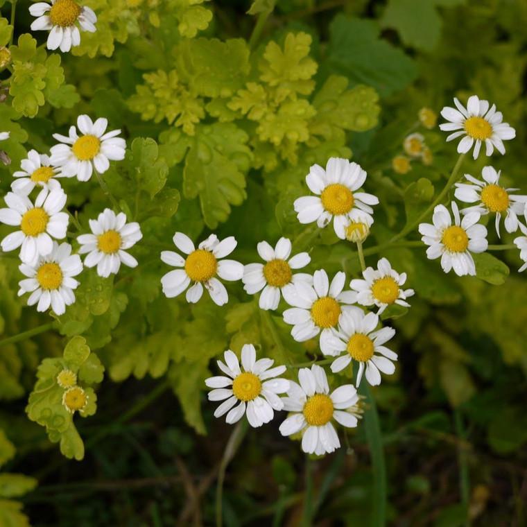 Buy Tanacetum parthenium 'Aureum' Feverfew Golden   Buy Herb Plant Online in 9cm Pot