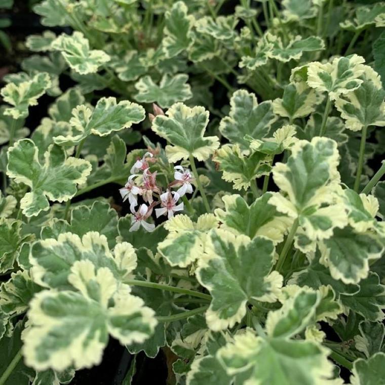 Buy Pelargonium fragrans 'Fragrans Variegatum' Geranium Fragrans Variegatum   Buy Herb Plant Online in 1 Litre Pot