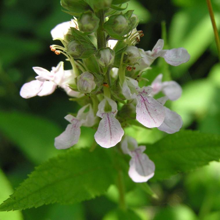 Buy Teucrium x lucidrys (Hedge Germander) Herb Plant  | Herb Plant for Sale in 1 Litre Pot