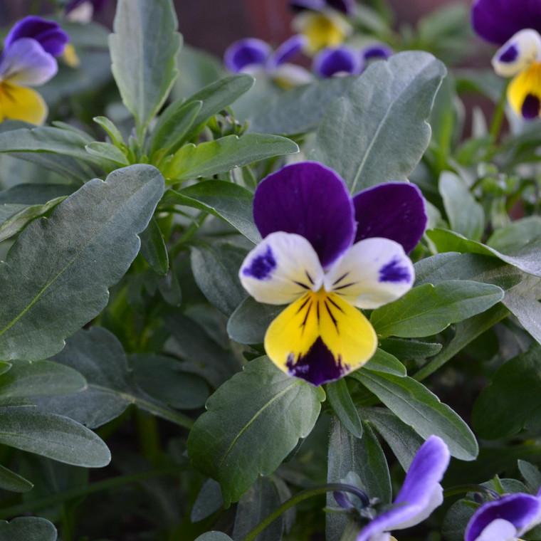 Buy Viola tricolor Heartsease | Herb Plant for Sale in 9cm Pot
