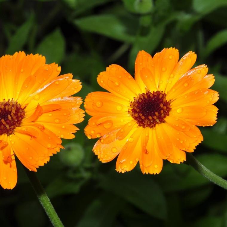 Buy Calendula officinalis Marigold Pot | Buy Herb Seeds Online