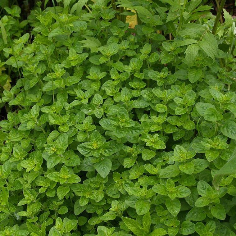 Buy Origanum onites Compact Marjoram   Herb Plant for Sale in 9cm Pot