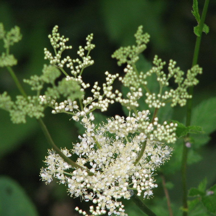 Buy Filipendula ulmaria Meadowsweet   Potted Herb Plant   Hooksgreen Herbs