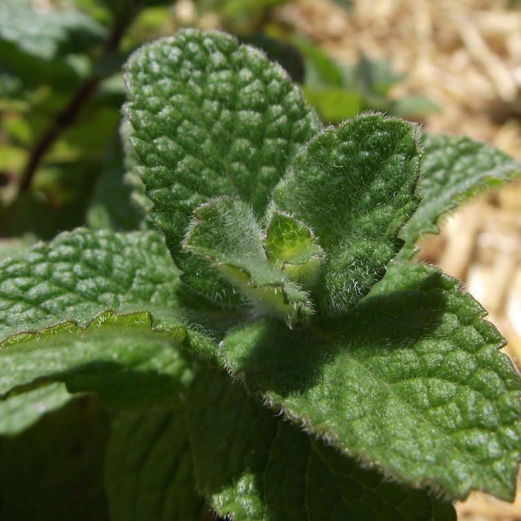 Buy Mentha suaveolens, Bowles applemint   Buy Herb Plant Online in 9cm Pot