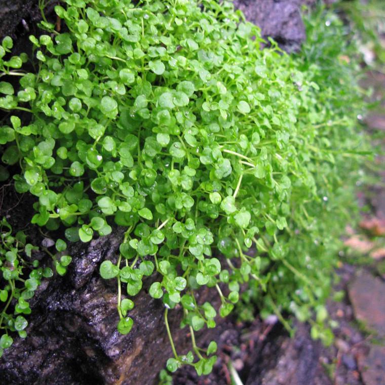 Buy Mentha requienii, Corsican Mint   Buy Herb Plant Online in 9cm Pot