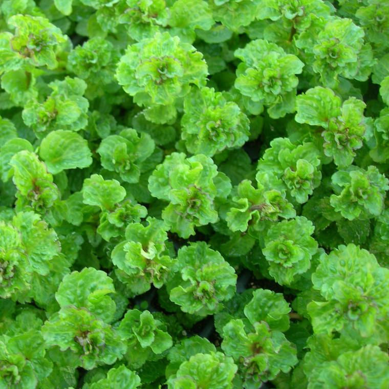Buy Mentha spicata var. crispa, Curly spearmint   Buy Herb Plant Online in 9cm Pot