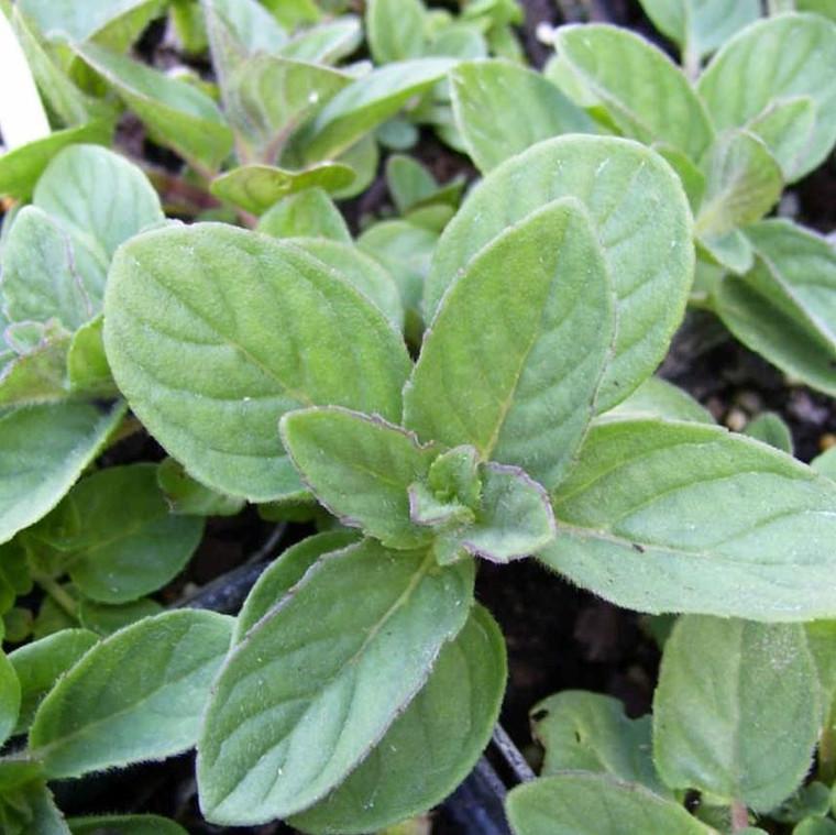 Buy Mentha x piperita f. citrata 'Lemon', Lemon Mint | Herb Plant for Sale in 9cm Pot