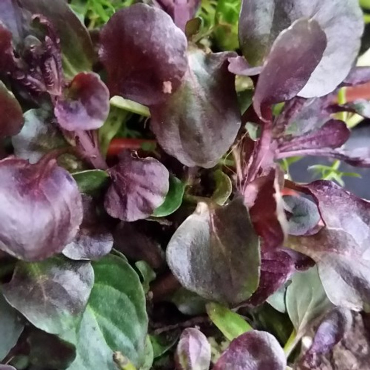 Buy Mentha x piperita f. citrata 'Lime' (Lime Mint) Herb Plant