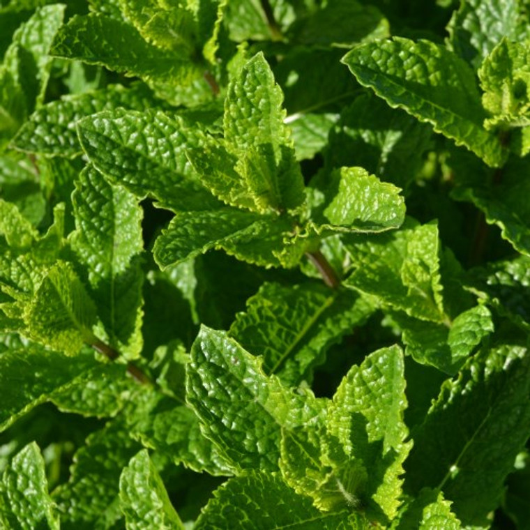 Buy Mentha spicata var. crispa 'Moroccan', Moroccan Mint   Herb Plant for Sale in 9cm Pot