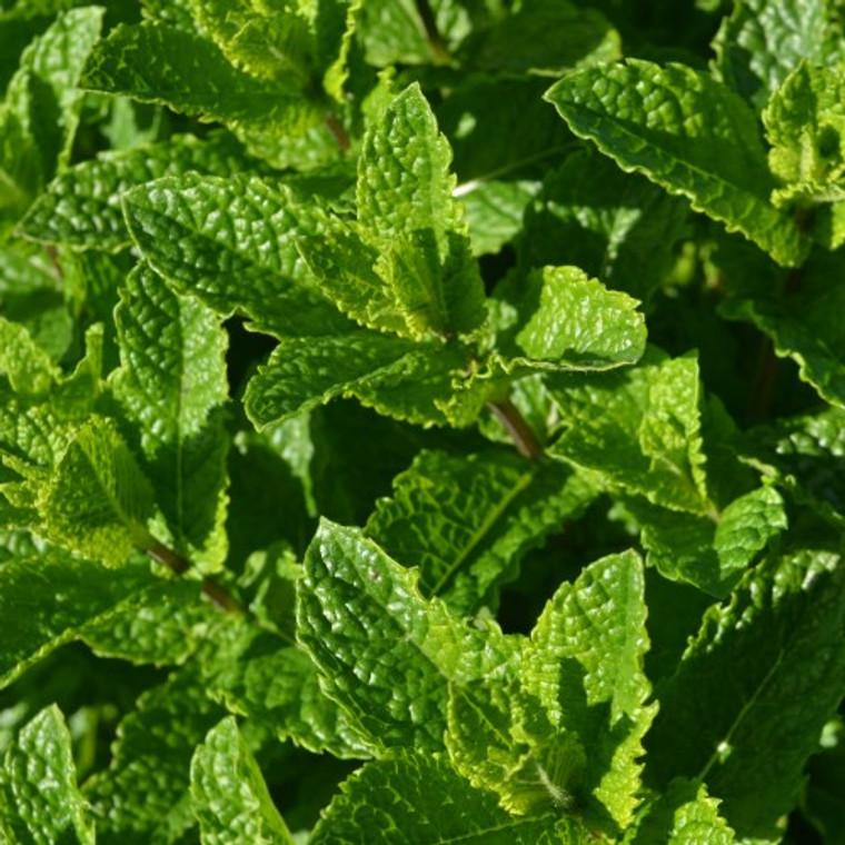 Buy Mentha spicata var. crispa 'Moroccan', Moroccan Mint | Herb Plant for Sale in 9cm Pot