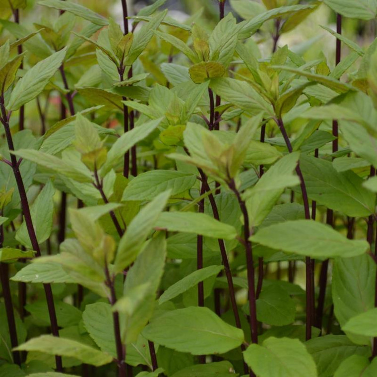 Buy Mentha x smithiana syn. M. rubra, Red Mint | Herb Plant for Sale in 9cm Pot