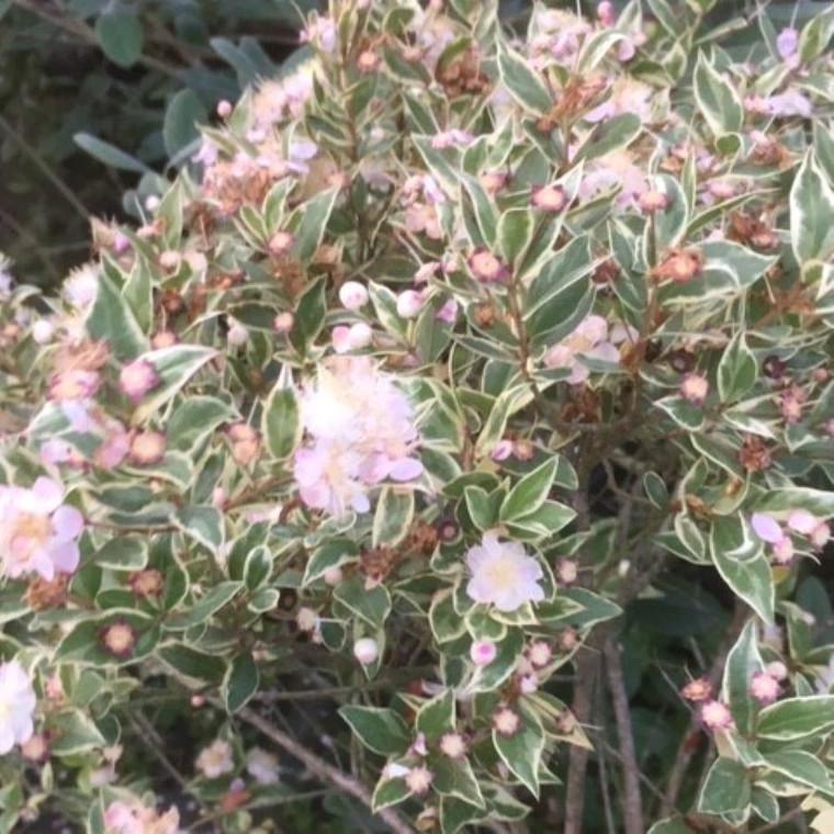 Myrtus communis 'Varigata' (Variegated Myrtle )Herb Plant   Buy herb plant online in 1 Litre Pot