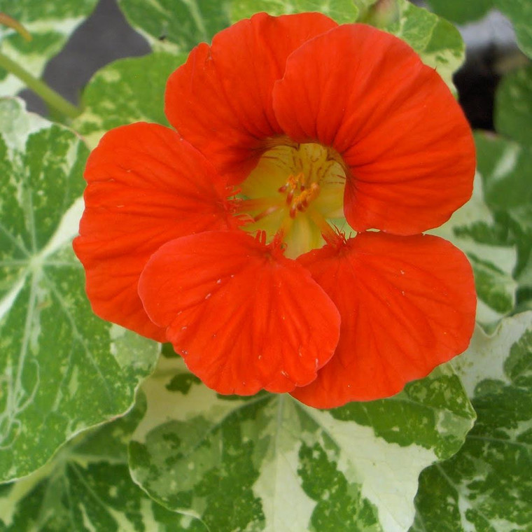 Buy Tropaeolum majus Alaska Series (Nasturtium Tom Thumb) | Potted Herb Plants | Hooksgreen Herbs