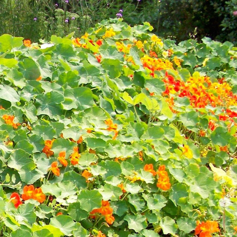 Buy Tropaeolum majus Alaska Series (V), Nasturtium | Herb Seeds for Sale
