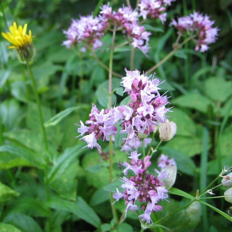 Buy  Oregano (Origanum vulgare)   Potted Herb Plant   Hooksgreen Herbs
