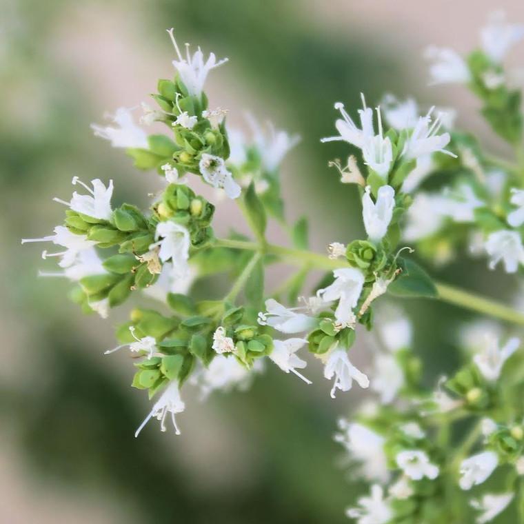 Buy Oreganum Vulgare 'White Charm' Oregano 'White Charm'   Buy Herb Plant Online in 9cm Pot