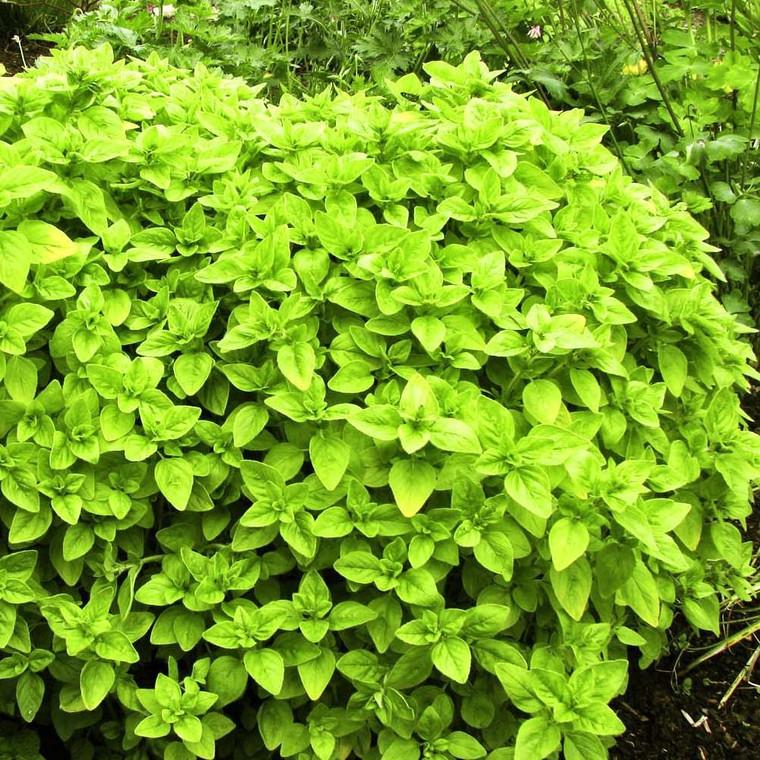Buy Origanum vulgare 'Aureum' Oregano Golden RHS AGM | Herb Plant for Sale in 9cm Pot