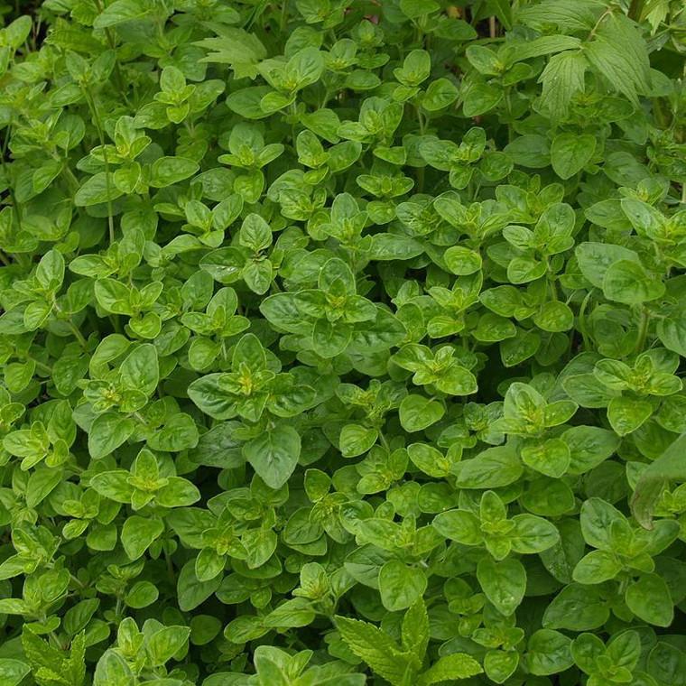 Buy Origanum onites 'Oregano Greek'   Herb Plant for Sale in 9cm Pot
